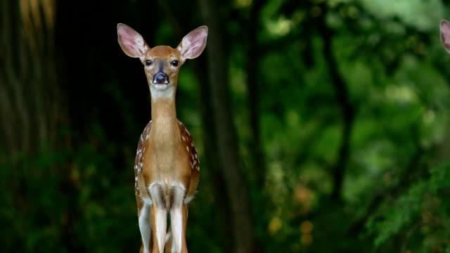 whitetail deer fawns - one animal stock videos & royalty-free footage