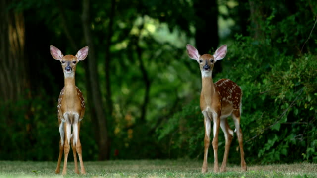 whitetail deer fawns - fawn stock videos & royalty-free footage