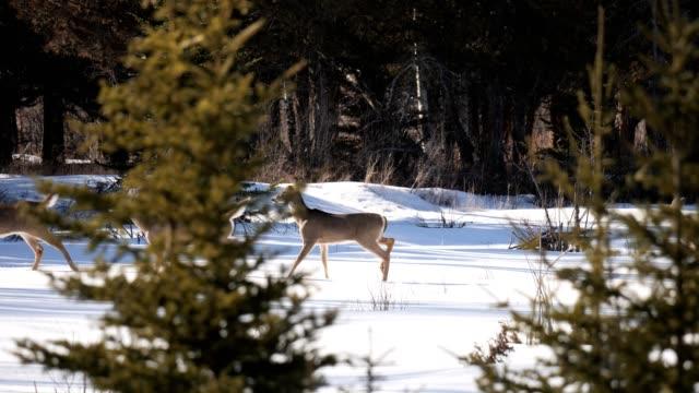 whitetail deer - white tailed deer stock videos & royalty-free footage