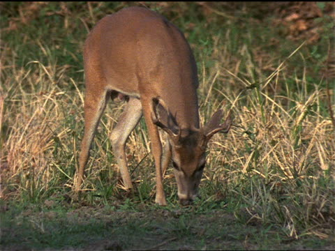 a white-tailed buck grazes in the grass and pauses to look up. - white tailed deer stock videos & royalty-free footage