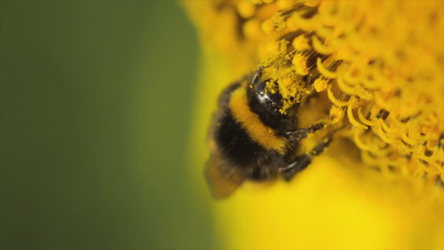 vídeos de stock e filmes b-roll de white-tailed bumblebee covered in sunflower pollen - abelha