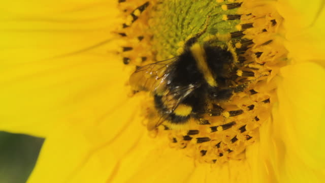 white-tailed bumblebee pollinating sunflower - flower head stock videos & royalty-free footage
