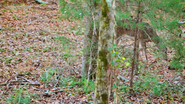 white-tailed deer doe foraging in autumn forest - foraging stock videos & royalty-free footage