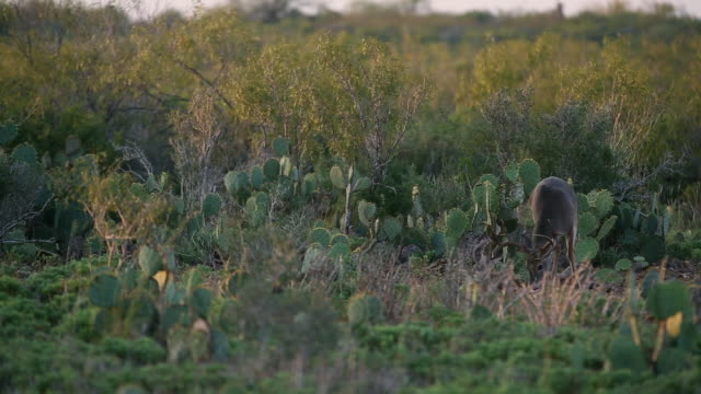 white-tailed deer foraging near bushes and cactuses - foraging stock videos & royalty-free footage