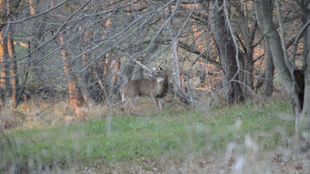 white-tailed deer running away - white tailed deer stock videos & royalty-free footage