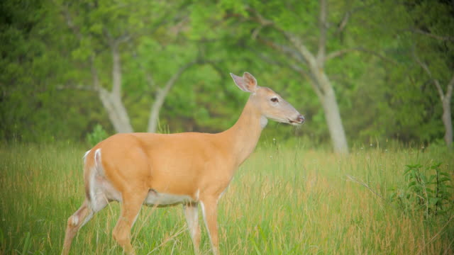 white-tailed deer - mule stock videos & royalty-free footage