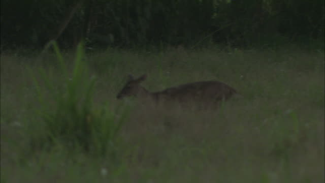 a white-tailed deer wags its tail as it grazes and prances through the grass. - white tailed deer stock videos & royalty-free footage