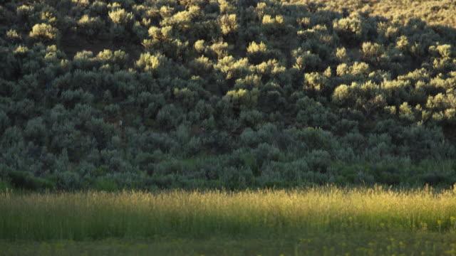 white-tailed deer walking among bushes - white tailed deer stock videos & royalty-free footage