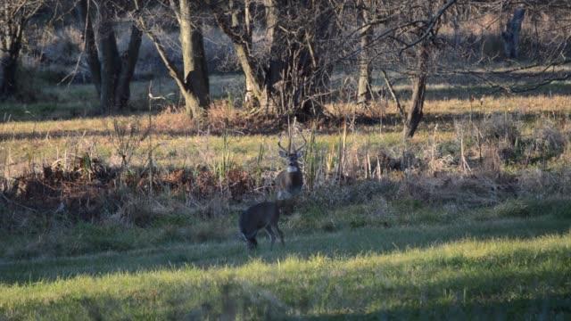 white-tailed deer/buck - territorio selvaggio video stock e b–roll
