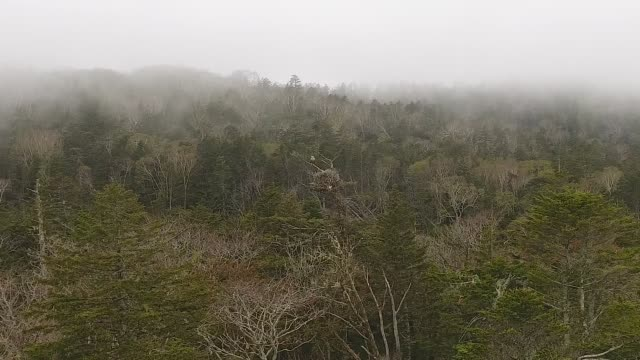 Seeadler und Nest (Haliaeetus albicilla) Kuril Island