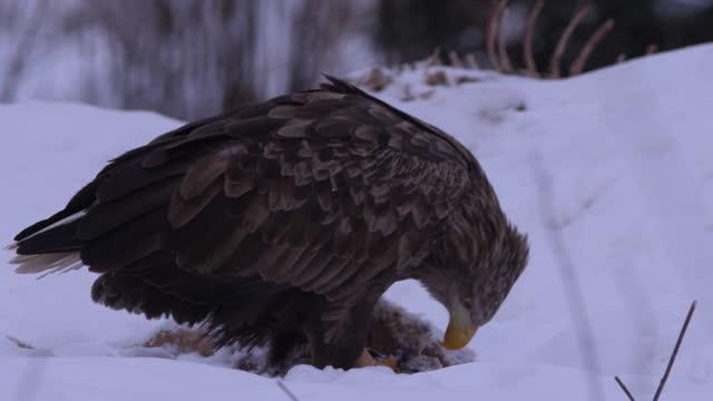 冬の森で獲物を食べるオジロワシ - winter点の映像素材/bロール