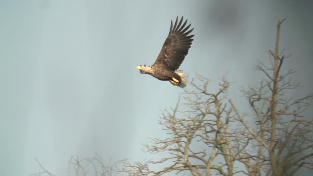 white-tailed eagle (haliaeetus albicilla) flies over dead trees - eagle stock videos & royalty-free footage