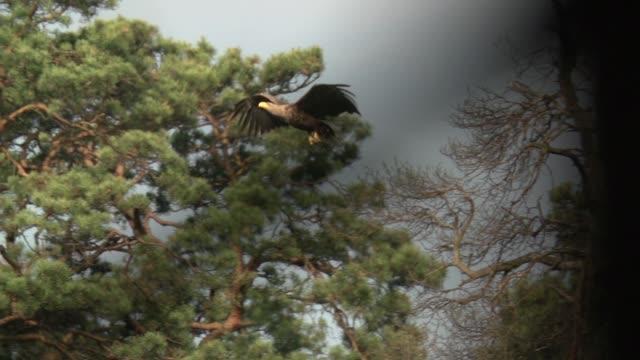 vidéos et rushes de pygargue à queue blanche (haliaeetus albicilla) survole les arbres morts - aigle
