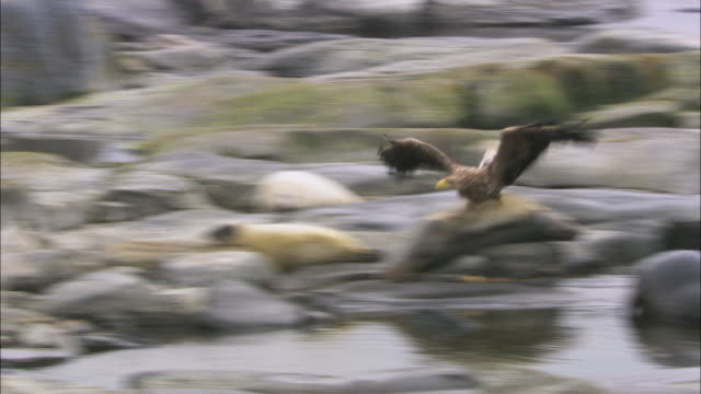 WS PAN White-tailed eagle flying and landing close to meat piece / Sweden