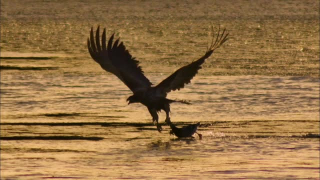 a white-tailed eagle flying over the water with its prey - つかまえる点の映像素材/bロール