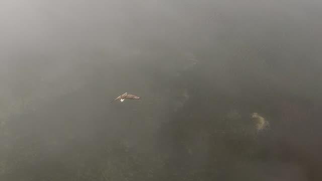 vidéos et rushes de aigle à queue blanche (haliaeetus albicilla) île de kuril - aigle