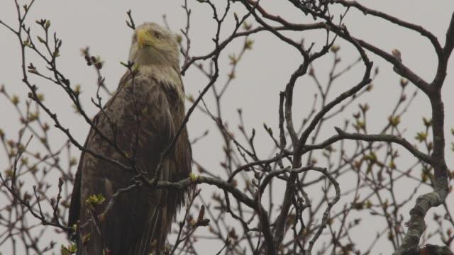 vidéos et rushes de aigle à queue blanche (haliaeetus albicilla) îles kuril - aigle