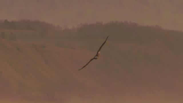 vídeos de stock, filmes e b-roll de águia branco-atada (albicilla do haliaeetus) consoles de kuril - ave de rapina