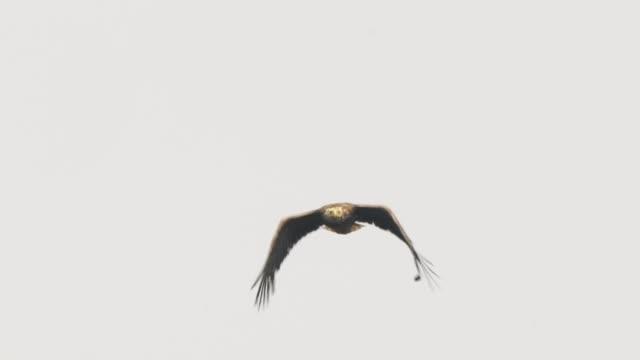 seeadler (haliaeetus albicilla) kurilen-inseln - adler stock-videos und b-roll-filmmaterial