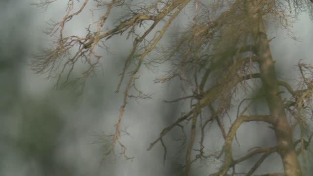 seeadler (haliaeetus horste) steigt über tote bäume - kamerafahrt mit dolly stock-videos und b-roll-filmmaterial