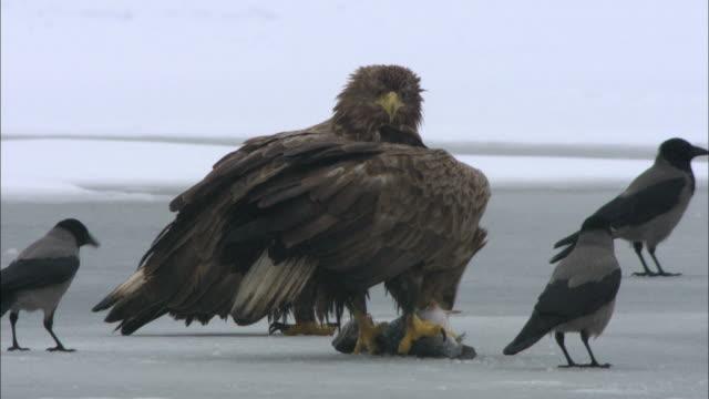vídeos de stock e filmes b-roll de ws white-tailed eagles eating of fish with crows / sweden - gelo picado