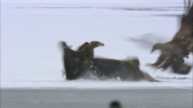 WS PAN White-tailed eagles fighting on ice / Sweden