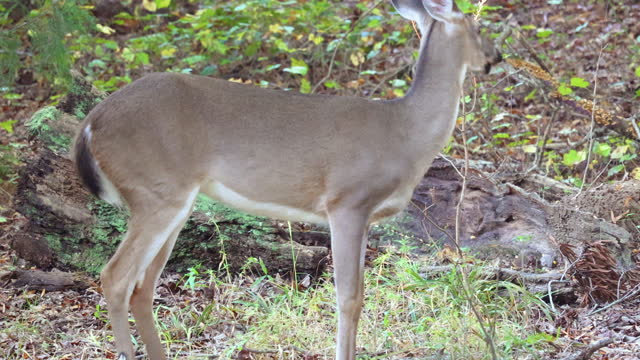 white-tailed fawn foraging in woods of piedmont, north carolina, close-up - foraging stock videos & royalty-free footage
