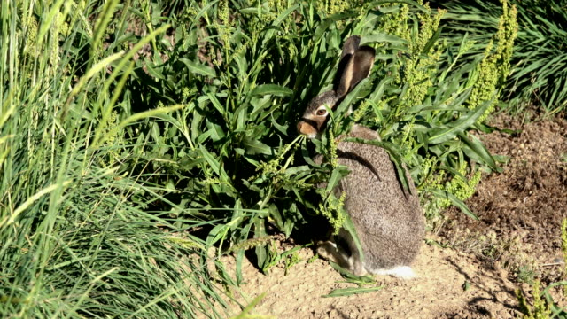 white-tailed jackrabbit eats willow dock plant arapahoe national wildlife refuge colorado summer - uncultivated stock videos & royalty-free footage