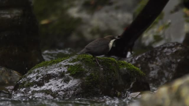 weiße-throated wasseramseln (cinclus cinclus) - fang stock-videos und b-roll-filmmaterial