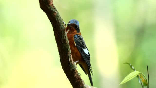 white-throated rock thrush in the nature - thrush stock videos & royalty-free footage