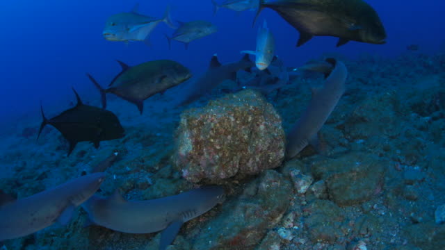 whitetip reef shark and giant trevally hunting in the reef, mexico - whitetip reef shark stock videos & royalty-free footage