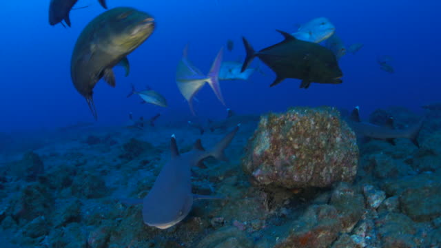 whitetip reef shark and giant trevally hunting prey, socorro - whitetip reef shark stock videos & royalty-free footage