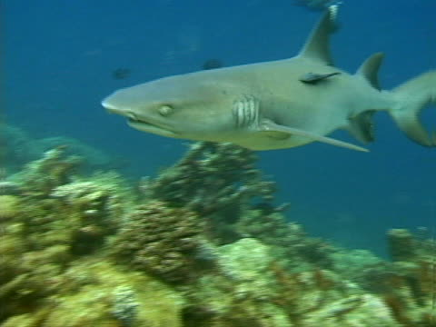 a white-tip reef shark and pilot fish - pilot fish stock videos & royalty-free footage