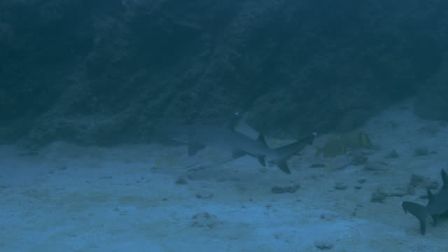 whitetip reef shark, cano island underwater - whitetip reef shark stock videos & royalty-free footage