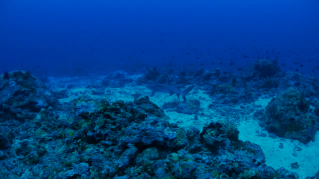 whitetip reef shark, coral reef, undersea - whitetip reef shark stock videos & royalty-free footage