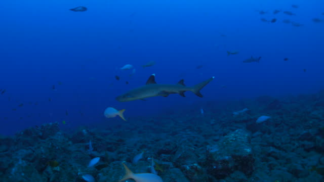 whitetip reef shark cruising at the reef in the morning - whitetip reef shark stock videos & royalty-free footage
