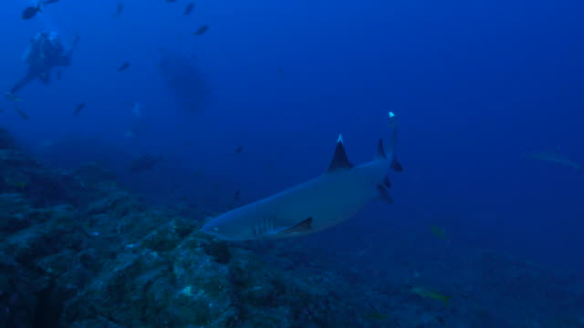 whitetip reef shark cruising in the reef - whitetip reef shark stock videos and b-roll footage