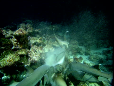 whitetip reef shark feeding frenzy, cocos island, costa rica - ペレスメジロザメ点の映像素材/bロール