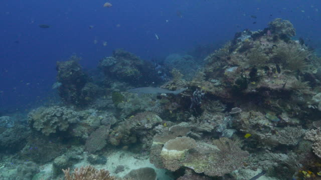 whitetip reef shark in coral reef - whitetip reef shark stock videos and b-roll footage