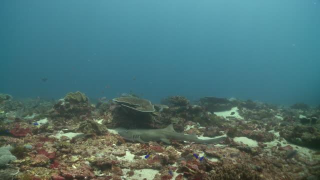 whitetip reef shark (triaenodon obesus) in reef shelter then moving off, nusa lembongan, bali, indonesia - whitetip reef shark stock videos & royalty-free footage