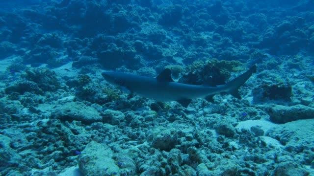 whitetip reef shark lie down in undersea reef - whitetip reef shark stock videos & royalty-free footage