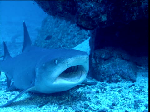 whitetip reef shark lies on sea bed with wide open mouth, small fish swim around mouth and gills cleaning it, cocos island, costa rica - whitetip reef shark stock videos & royalty-free footage