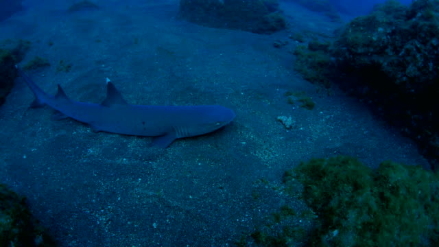 whitetip reef shark on the sand - whitetip reef shark stock videos & royalty-free footage