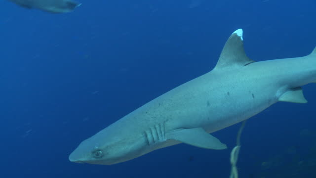 ms whitetip reef shark / palau, micronesia, palau  - palau stock videos & royalty-free footage