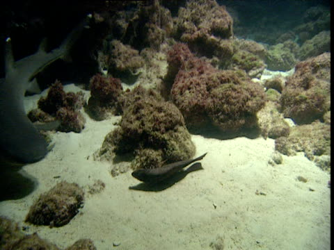 Whitetip reef shark picks up dead fish, swallows it and swims off, Cocos Island, Costa Rica