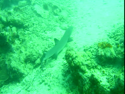 A whitetip reef shark rests between corals, then swims away.