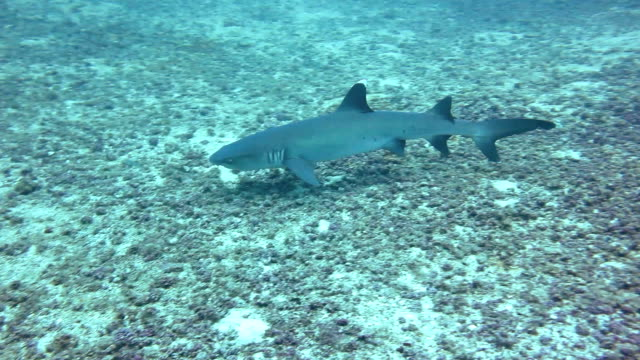 whitetip reef shark swimming along the bottom, coiba island national park, panama. - whitetip reef shark stock videos & royalty-free footage