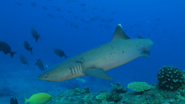 whitetip reef shark swimming close to camera - reef shark stock videos and b-roll footage