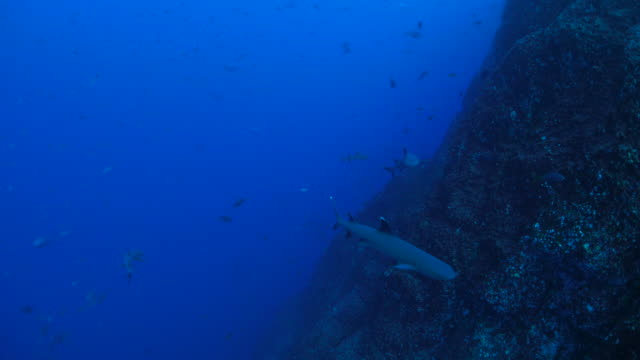 whitetip reef shark swimming in the reef - whitetip reef shark stock videos & royalty-free footage