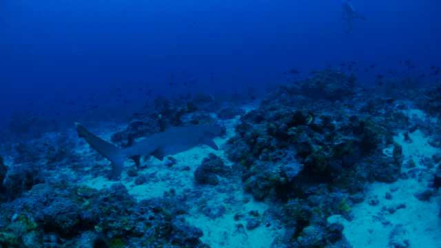 whitetip reef shark swimming on seabed of deep sea - whitetip reef shark stock videos & royalty-free footage